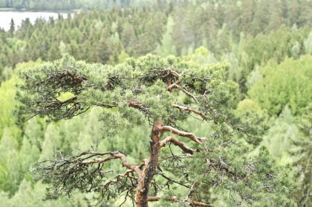 pit fall: Image of pine tree with aerial backgrounf