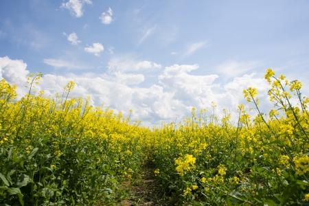 horizon over land: Image of yellow rapeseed field