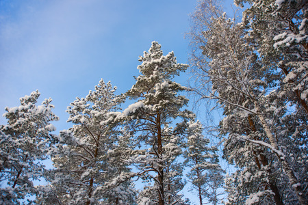 Image of trees in the winter covered with snow against the blue sky photo