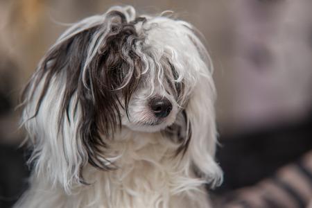powder puff: Image of Chinese crested dog - Powder Puff