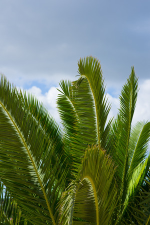 Image of Palm branches against the cloudy sky photo