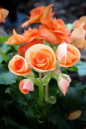 rosas naranjas: Las pequeñas rosas de color naranja Foto de archivo