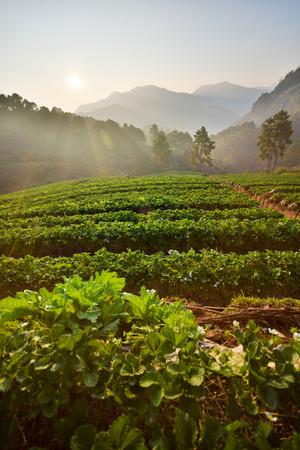 Strawberry farm in the morning at Doi Ang Khang, Chiang Mai, Thailand photo