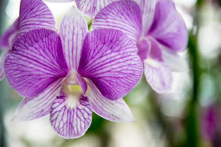 goodly: Thai beautiful orchid flower Stock Photo