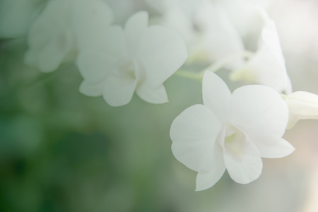 goodly: Beautiful Thai orchid flower background