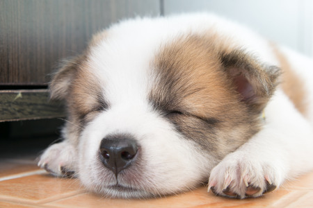 likable: close up cute Thai bangkaew sleeping puppy Stock Photo