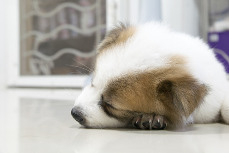 likable: close up cute Thai Bangkaew sleeping puppy