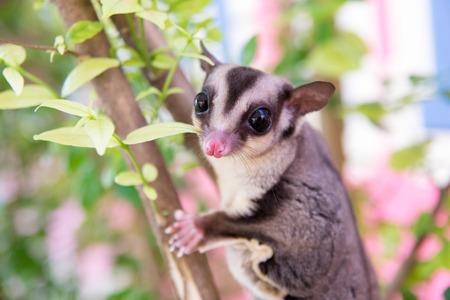 possum: sugar glider climb on the tree Stock Photo