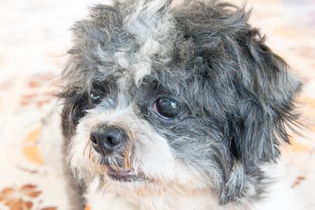 shih: Close up old shih tzu dog face Stock Photo