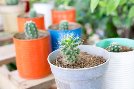 diminutive: Close up small cactus in a can on a wooden table Stock Photo