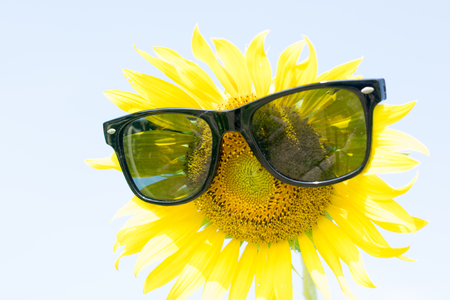 engaging: sunflower with sunglasses close up