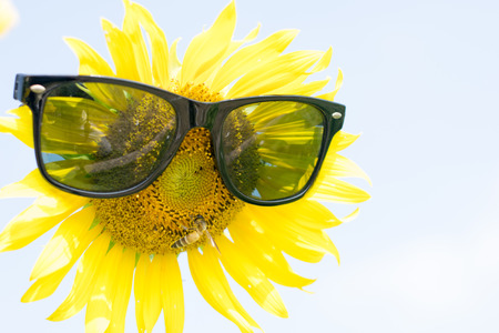 likable: sunflower with sunglasses close up
