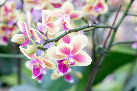 flower close up: Beautiful Thai orchid flower Close up