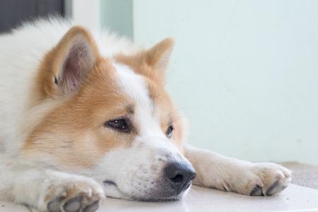 engaging: Cute Thai Bang Kaew dog face close up
