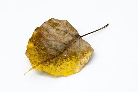 close up of a Bothi leaf