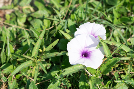 flower close up: Morning Glory flower close up Stock Photo