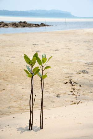 Thai small mangrove on the beach
