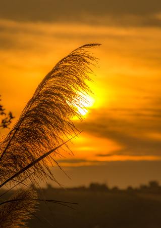clump: Clump of grass with sun background In the evening Stock Photo