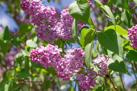 jovial: Lilac photographed with selective focus on a sunny spring day