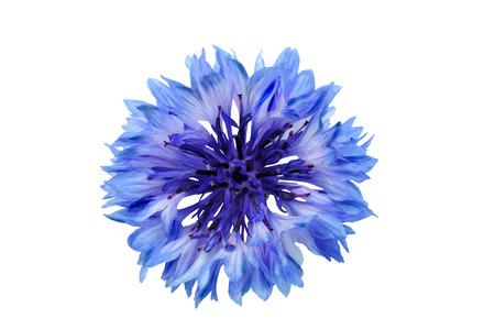 florecitas: azul aciano sobre un fondo blanco, fotografiado en la luz natural