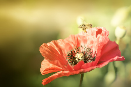 jovial: Bee on poppies rays of the sun. Photographed with a selective focus method. Stock Photo