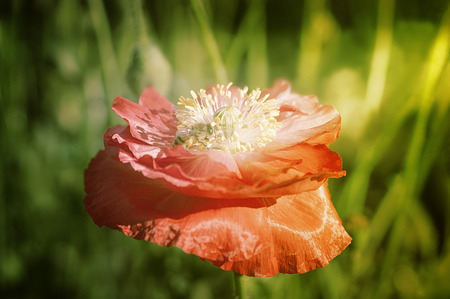 screenshot: Bee on poppies rays of the sun. Photographed with a selective focus method. Stock Photo