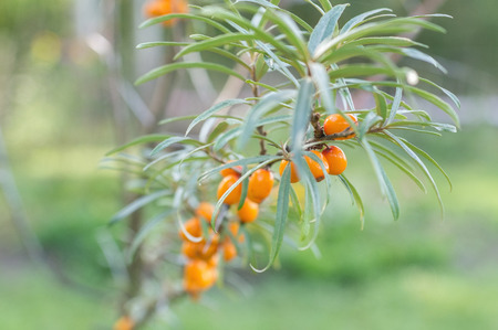 strengthening: Sea buckthorn berries on a tree branch photographed in natural light, garden. A good source of vitamins. It produces juices, oil. Used in medicine for the prevention of cancer.