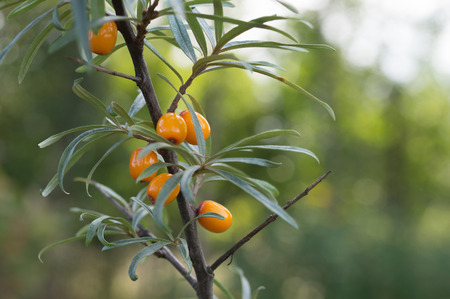 feedstock: Sea buckthorn berries on a tree branch photographed in natural light, garden. A good source of vitamins. It produces juices, oil. Used in medicine for the prevention of cancer.