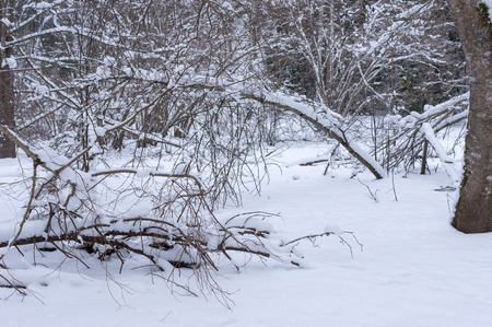 unaffected: Snowy trees and shrubs in winter Snowy snowbank early and cold winter morning