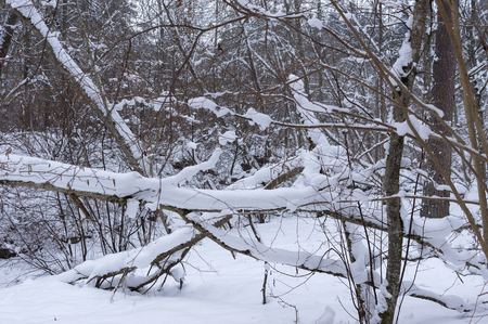 snowbank: Snowy trees and shrubs in winter Snowy snowbank early and cold winter morning