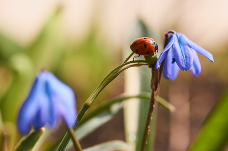 ladybird: Ladybird moves on the blue flower stalks Stock Photo