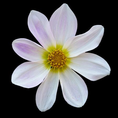 cav: white flower Dalia, georginia (Dahlia Cav.) in black background