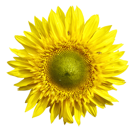 single color image: yellow sanflower isolated on white bakground.  Helianthus annuus.