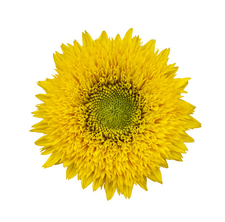 bakground: yellow sanflower isolated on white bakground.  Helianthus annuus.