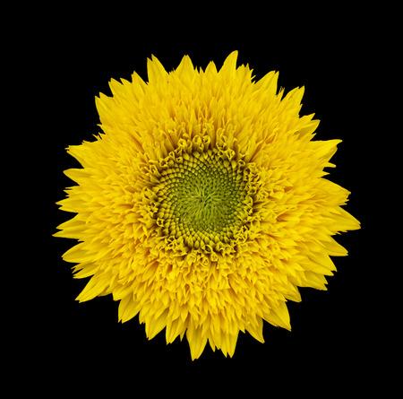 bakground: yellow sanflower isolated on black bakground.  Helianthus annuus. Stock Photo