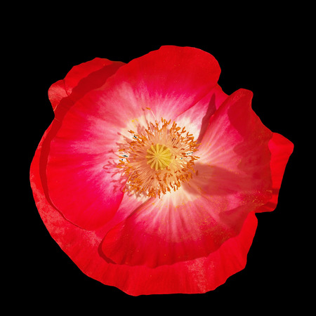 Pink poppy on a black background, photographed in natural light Stock Photo