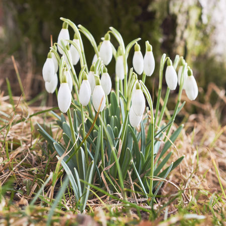 l first: Snowdrops green grass in the spring from close range macro selective focus Stock Photo