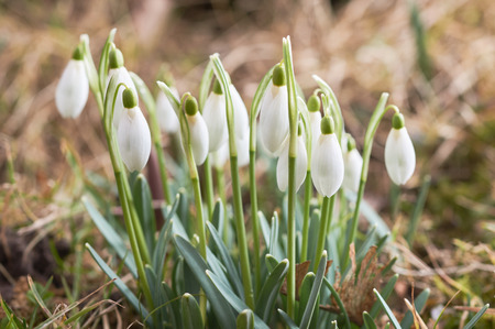 Snowdrops green grass in the spring from close range macro selective focus Stock Photo