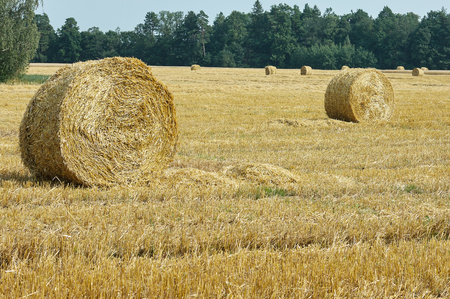 mown meadow wheat field, large round bales of hay, field of corn in the distance Stock Photo