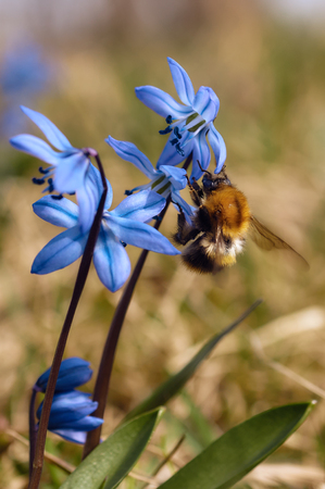 Blue spring flower scilla and bumblebee in park