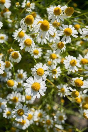 Chamomile In A Sunny Garden, Flowering, Blooming Field, Flowers ...