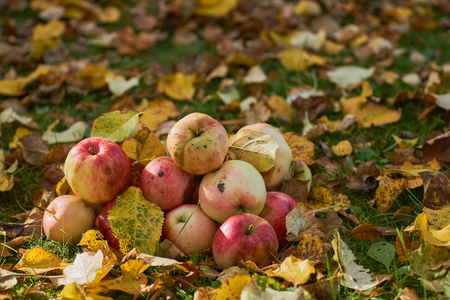 three red and yellow apples stacked in grass field. Selective focus,the focal depth is small. On the ground, fallen yellow autumn leaves fall. Collected harvest,