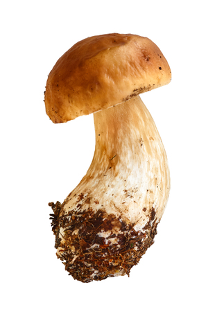 one boletebolete is isolated on a white background, objekt, raw food , wild mushroom with a brown hat.