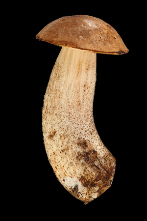 one boletebolete, cep is isolated on a black background, objekt, raw food , wild mushroom with a brown hat. Stock Photo