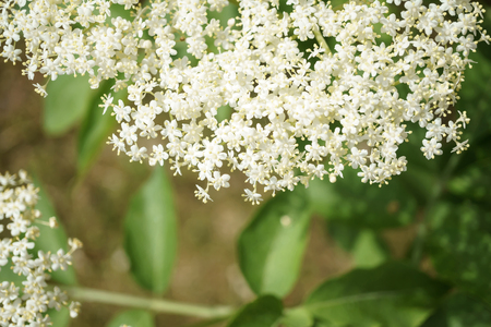 Black Elderberries flowers close, macro photography, different angles, selective focus, sunny day 스톡 콘텐츠
