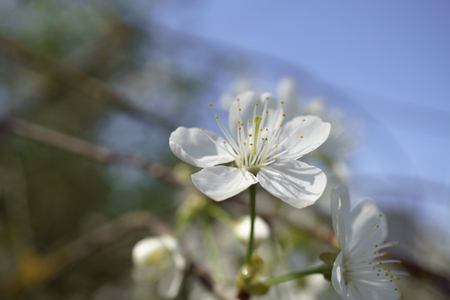 Cherry blossoms in berry garden on a sunny day. micro photography, selective focus. Spring morning. copy space, 写真素材