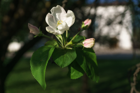 apple tree flowers blossoming in the sunny garden. The background is an apple garden, very close and selective focus.