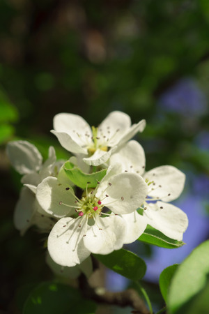 Pear flowers in a sunny spring morning, photographed outdoors and close-up, selective focus, 写真素材