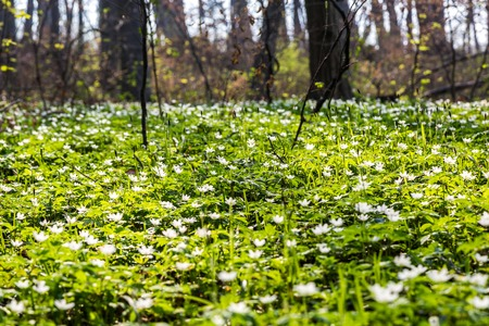 Glade in the forest with white flowers