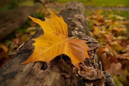 autumn leave on tree trunk photo